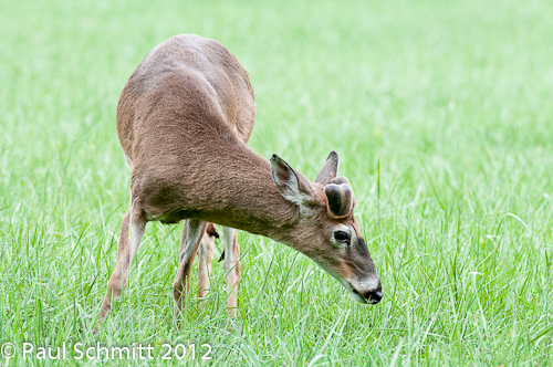 Whitetail Buck Deer