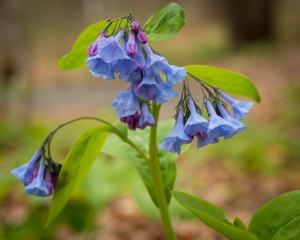 Virginia Bluebells-20160503_032