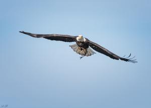 conowingo-eagle_2016-12-14_266-fb