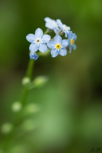 forget-me-not-960